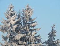 Fir trees in frost Stock Images