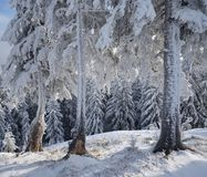 Fir trees in the frost Royalty Free Stock Photos