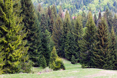 Fir-trees on the green valley with bird's-eye Royalty Free Stock Photo