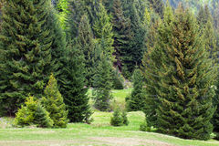 Fir-trees on the green valley with bird's-eye Stock Images