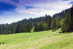 Fir-trees on the green valley and cloudly blue sky Royalty Free Stock Photos