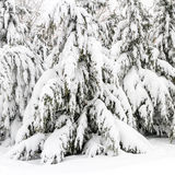 Fir trees laden with snow Royalty Free Stock Photos