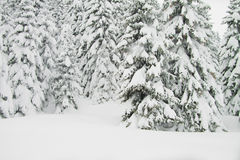 Fir trees with lots of snow, horizontal Royalty Free Stock Images