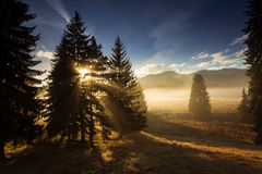 Fir trees on meadow between hillsides with conifer forest in fog Royalty Free Stock Photography