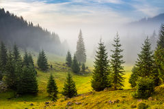 Fir trees on meadow between hillsides in fog before sunrise Royalty Free Stock Image
