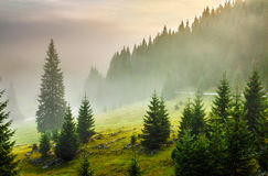 Fir trees on meadow between hillsides in fog before sunrise Royalty Free Stock Images