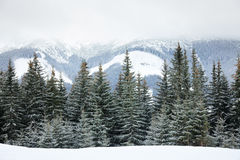 Fir trees on mountain slope Royalty Free Stock Photo