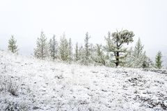 Fir trees in the mountain valley under snow. Fir trees in the mountain valley under the first snow stock photos