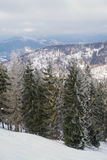 Fir-trees in the mountains. High fir-trees on the slope of winter mountains Royalty Free Stock Photography