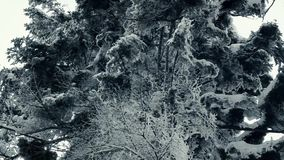 Fir trees nature shooting from quadrocopter. Hd nature stock video footage