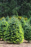 Fir trees with new growth. Stock Image