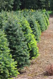 Fir trees with new growth. Stock Images