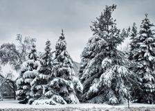 Fir trees on an overcast morning Royalty Free Stock Image