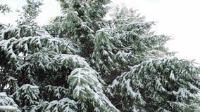 Fir trees stock video footage