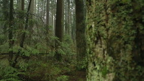 Fir Trees, Rainforest Camera Move stock footage
