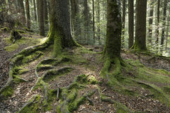 Fir trees roots Royalty Free Stock Photography