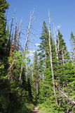 fir trees and sky Stock Photos