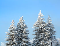 Fir trees with snow Stock Images