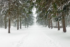 Fir trees in the snow Royalty Free Stock Photos