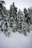 Fir trees with snow Stock Image