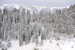 Fir trees in snow. Forest of fir trees in snow, Rhodopes mountain, Bulgaria Royalty Free Stock Photo