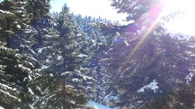 Fir trees with snow stock footage