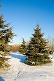 Fir trees with snow on blue sky Stock Photos