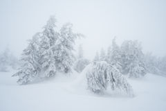 Fir trees in snow Stock Photo
