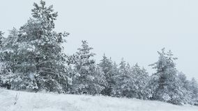 Fir trees in snow Christmas winter wild forest snowing stock footage