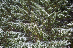 Fir trees and snow Stock Image