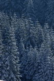 Fir trees in the snow Royalty Free Stock Image