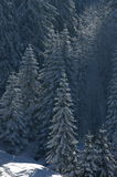 Fir trees in the snow Royalty Free Stock Photo