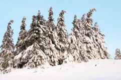 Fir trees with snow in mountains. Fir trees with snow in winter Carpathian mountains royalty free stock image