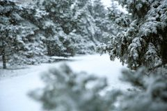Fir trees on snow storm day in city park. Space for text royalty free stock photo