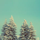 Fir trees with snow under sky - vintage retro style Royalty Free Stock Photography