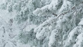Fir trees in snow wild forest Christmas branch winter snowing. Fir trees  in snow wild forest Christmas branch winter snowing stock video