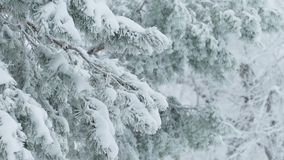 Fir trees in snow wild forest Christmas winter branch snowing. Fir trees  in snow wild forest Christmas winter branch snowing stock footage