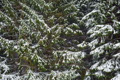 Fir trees in the snow Stock Images