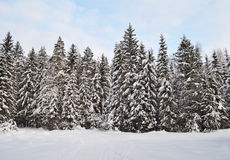 Fir trees with snow in winter forest Stock Images
