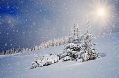 Fir trees in the snow Stock Photos