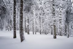 Fir trees in the snow Stock Photography