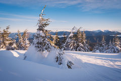 Fir trees in snowdrifts Royalty Free Stock Photos