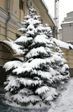 Fir trees with snowy brances Royalty Free Stock Photography