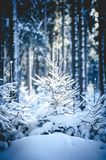 Fir Trees in snowy Forest Stock Images