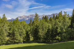 Fir-trees with snowy mountains in the back. Ground and meadow in the foreground Stock Photography
