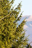 Fir trees in a sunny day. Mountains peaks in the background.  Stock Photography