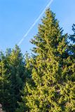 Fir trees in a sunny day. Trail of jet plane in the sky.  Royalty Free Stock Images