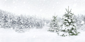 Fir trees in thick snow Royalty Free Stock Image