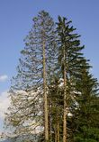 Fir Trees Stock Photo