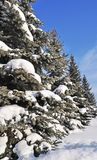 Fir trees under snow Royalty Free Stock Images